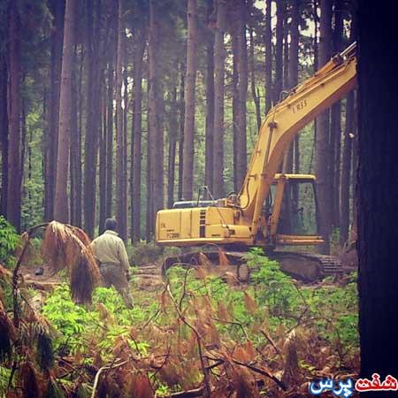 برداشت درختان کاج از جنگل شفارود شهرستان شفت