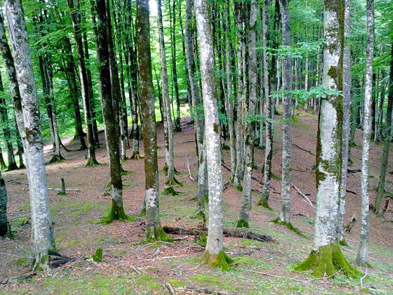 برخی از درختان جنگل های شفت در حال نابودی است