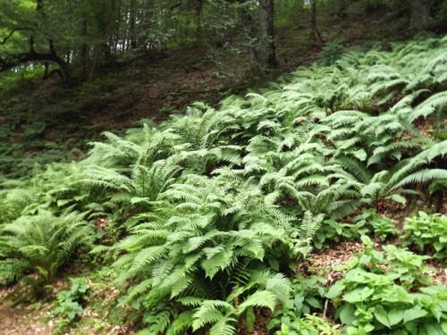 سرخس ، پوشش گیاهی جنگلهای شفت