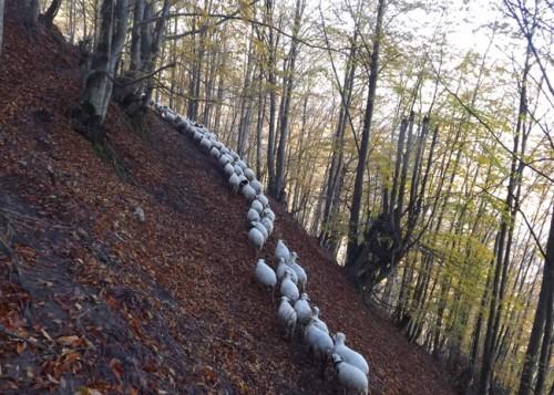 گیلان-شفت-جنگل سیاهمزگی