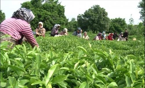 فراوری چای بهاره در شهرستان شفت