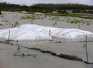 توصیه هایی برای جلوگیری از سرمازدگی محصولات کشاورزی در گیلان
