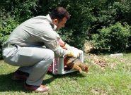 تیمار و رهاسازی یک گونه جانوری حفاظت شده در شفت