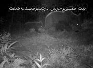 تصویر برداری از یک قلاده خرس قهوه ای در مناطق حفاظت شده شفت