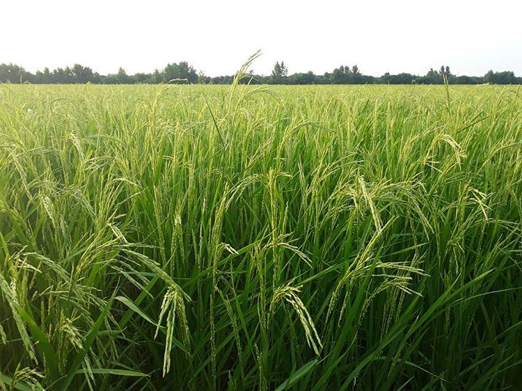 کشاورزان از سمپاشی و کود دهی تا پایان بارندگی خودداری کنند