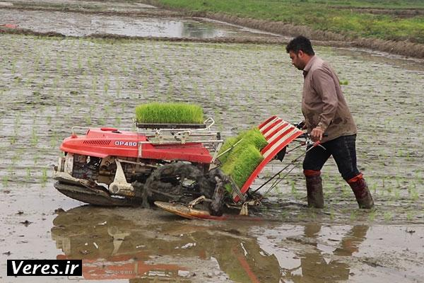 آغاز نشای مکانیزه برنج در شالیزارهای شفت