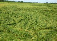 خسارت ١٨ میلیارد تومانی باران به کشاورزان شهرستان شفت